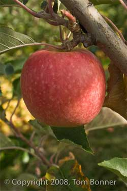 Close up of an apple with soft background